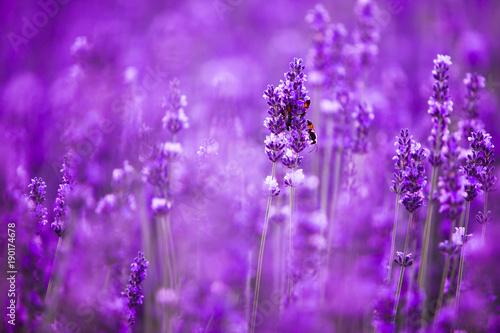 lawendowy-kwiatu-pola-zblizenie-swiezi-purpurowi-aromatyczni-kwiaty-dla-naturalnego-tla-fiolkowy-lawendy-pole-w-provence-francja