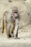 Single Hamadryas baboon in zoological garden - 190191423
