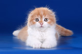Cute red kitten on a blue background