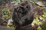Great gorilla thinking - 190210074