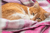 Red-and-white kitty is peaceful slumbering at the new violet plaid on the windowsill. Cozy home concept. Close up. - 190211466