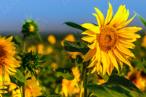 Tuinposter Meloen Sunflower field in full blossom in Altai in July
