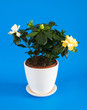 Gardenia jasmine on blue background