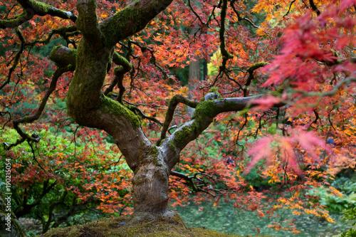 zblizenie-kolorowe-galezie-drzewa-klonowego-w-pieknym-ogrodzie-japonskim-w-portland-w-stanie-oregon-usa-zlota-jesien-jesien-w-zachodnim-wybrzezu-wybitne-kolory-natury