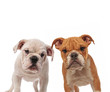 couple of cute english bulldogs puppies standing together