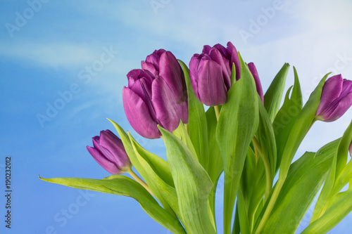 purpurowi-tulipany-niebieskie-niebo-i-kopii-przestrzen