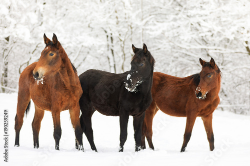 Horses on the snowy meadow