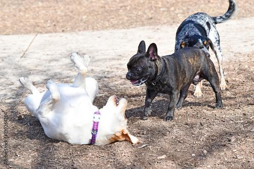 Foto op Plexiglas Franse bulldog Black French Bulldog Playing in the Park