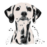 Dalmatian and blots the dog's head