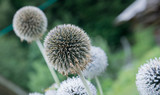 ball plant