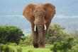 Quadro African Elephant, Loxodonta africana, South Africa