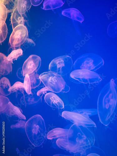 Fototapeta transparent jellyfish floating in the water