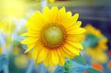 Sunflower with sun beaming light    - 190281852
