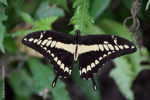Fotobehang Vlinder Swallowtail butterfly in Manuel Antonio National Park, Costa Rica