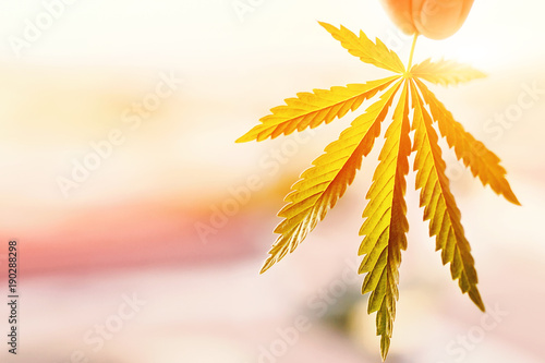 Leaf of cannabis in the hand in the setting sun on blurred background. Marijuana symbol medical concept