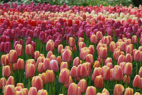 Aluminium Tulpen Colourful tulips in Kenkenhof gardens in Holland.
