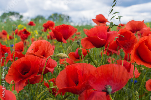 Foto op Canvas Rood Field full of red poppy flowers