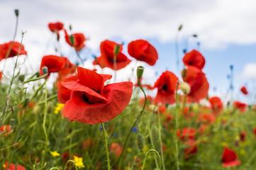 Field full of red poppy flowers