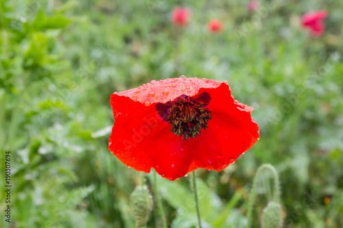 Foto op Canvas Klaprozen Poppy bright colors after rain