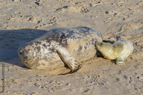 Newly born Grey Seal pup, Halichoerus grypus, with its mum at the breeding grounds in North Norfolk.