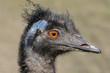 Leinwanddruck Bild - Vogelportrait Nandu