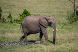 Elephant in Masai Mara Kenya