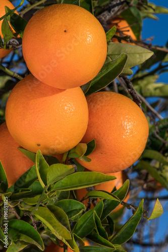 Tree with oranges.