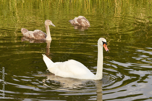 Aluminium Zwaan White swan swims with gray ducklings in a pond