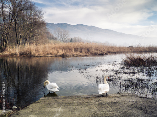 Foto op Canvas Herfst two swans stand along the shore of the lake of varese, italy