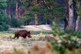 Solitary wild boar (...