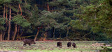 Wild boar with young ones foraging in forest meadow. - 190375287