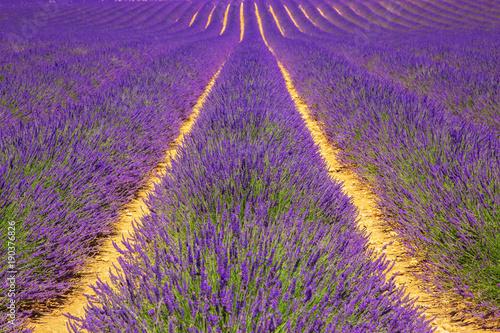 Aluminium Snoeien Lavender field. Violet fragrant lavender flowers.