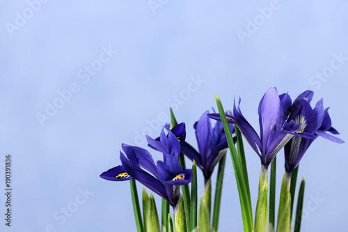 Aluminium Iris beautiful blue irises