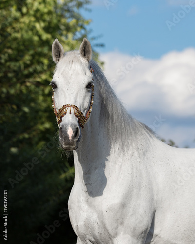 Portrait of a gray arabian horse outdoors by summer