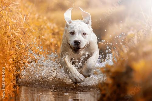 joven-cachorro-de-perro-labrador-retriever-corriendo-por-el-rio-durante-el-atardecer-dorado