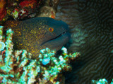Closeup yellow-grey Moray appears among corals in natural tropical ocean