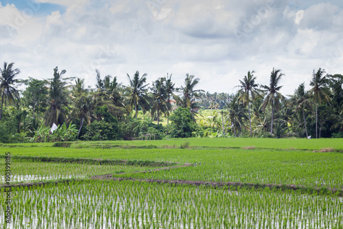 Foto op Canvas Pistache Beautiful view of rice fields in Bali, Indonesia