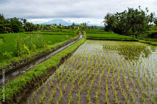 Papiers peints Bali View over rice field on Bali, Indonesia.