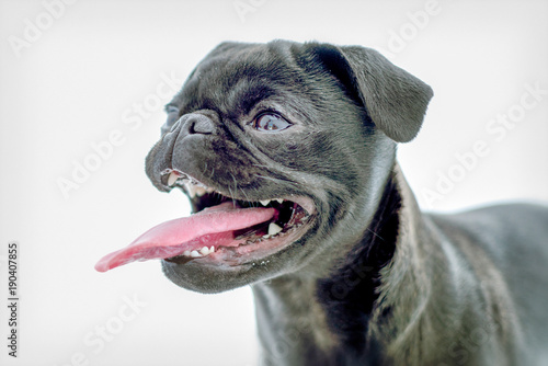 Foto op Plexiglas Franse bulldog Cute Black Pug
