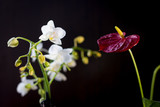 White phalaenopsis and red anthurium flowers over black background. - 190414042