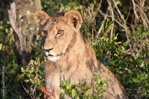A young lion with sideburns