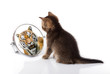 kitten with mirror on white background. kitten looks in a mirror reflection of a tiger