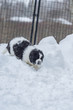 Black and White Puppy in the snow