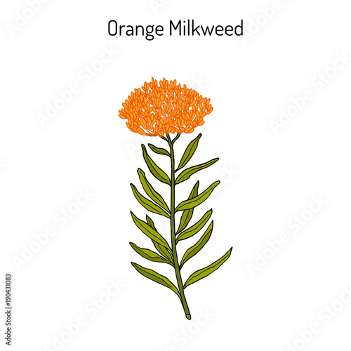 Orange milkweed Asclepias tuberosa , medicinal plant