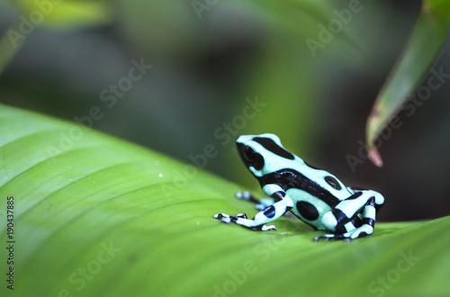 Fotobehang Kikker A green and black poison dart frog (Dendrobates auratus) sits on a banana leaf in Costa Rica.