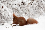 a small red squirrel running on white snow - 190439264