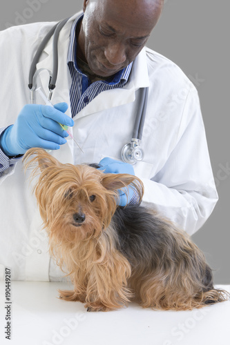 Vet giving an injection to a Yorkshire terrier in front of white a background Poster