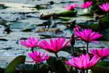 pink lotus - 190466071