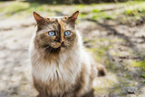 blue eye cat - 190469693