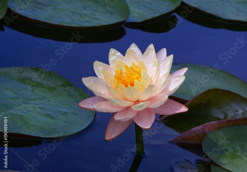 Poster Water planten water, flower, lotus, lily, pond, nature, pink, waterlily, plant, white, green, leaf, blossom, bloom, beauty, lake, water lily, garden, summer, flowers, petal, aquatic, yellow, flora, floral